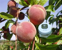 0000558_natural-lip-cream-peach-flavored_200